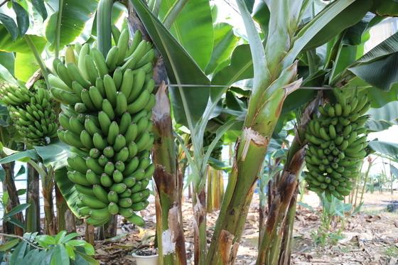 안동파파야 농장의 바나나. 백경서 기자
