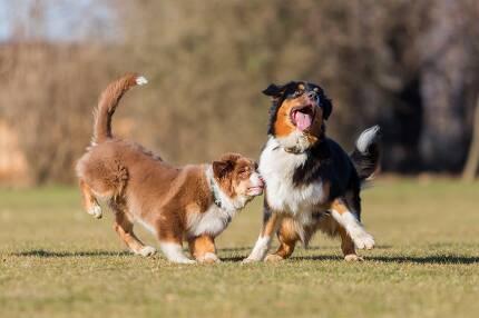 개들은 놀이를 통해 체력과 사회성을 기른다. 그러나 놀이가 모두에게 반드시 만족스런 것은 아니다. 게티이미지뱅크 제공.