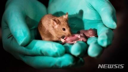 【서울=뉴시스】중국 연구팀이 암컷 쥐 2마리로 건강한 새끼쥐를 출산하는데 성공했다. (사진출처: BBC 홈페이지 캡쳐) 2018.10.12.
