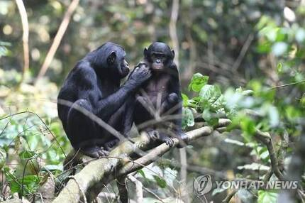 콩고의 야생 보노보 [AFP=연합뉴스]