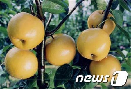 하동읍 만지 일원에서 최근 조생종인 행수배와 원황배 수확을 시작했다.© News1
