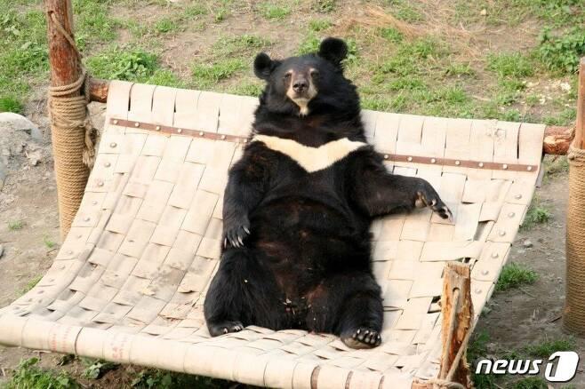 2001년 중국의 한 곰 농장에서 구조된 재스퍼가 해먹 위에서 편히 쉬고 있는 모습. 15년간 쓸개즙을 채취하는 데 동원된 재스퍼는 2016년 간에 생긴 악성종양으로 숨졌다.(사진 애니멀스 아시아 파운데이션(Animals Asia Foundation) 제공) © News1