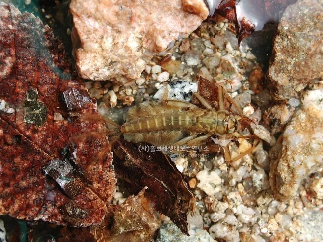 청정하천의 대표적인 물속 곤충인 강하루살이 애벌레.