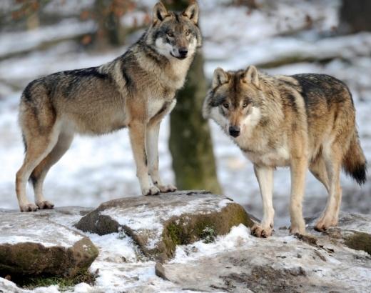 늑대는 먹이 사슬의 최상위에 있으며 생태계를 유지하는 데 중요한 역할을 한다고 연구자들은 말한다. (사진=AFP/연합뉴스)