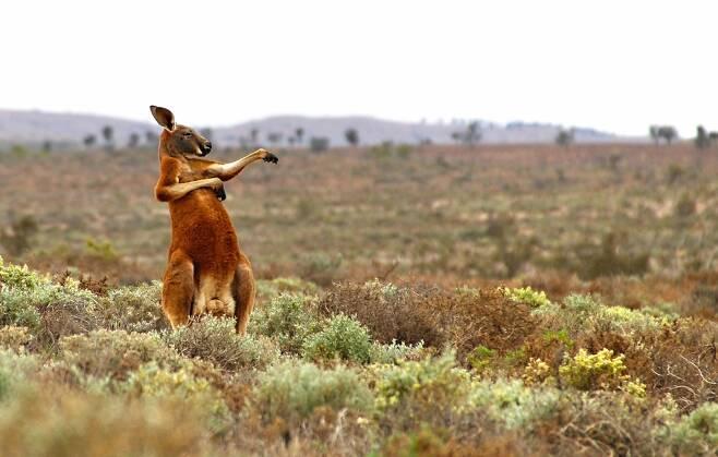 안드레이 질로프 세인트가 찍은 캥거루의 '쿵후 훈련'. 최종 본심 후보에 올랐다.(이하 사진은 본심 진출작) 오스트레일리의 포풀러 갭 연구기지에서 찍었다.