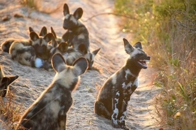 티나 스테르의 작품 '야생처럼 웃기'. 남아프리카공화국 템베 코끼리 공원에서 찍은 들개다.