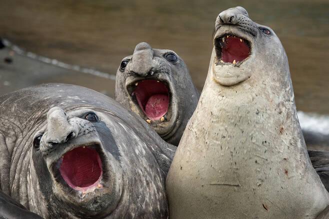 로이 갈리츠의 작품 '세 마리'. 사우스조지아섬에서 코끼리물범이 함께 노래를 부르고 있었다.
