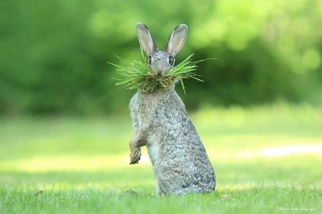 """올리버 콜의 작품 '박사님, 무엇이 문제야'.  벨기에 플랜더스에서 촬영했다. """"야생토끼가 둥지를 지으려고 풀을 모으고 있었다. 딸과 함께 가까이서 지켜봤다."""""""