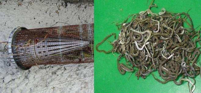 가을과 봄 이동하는 뱀을 잡기 위해 불법적으로 설치하는 덫에 수백 마리의 뱀이 엉켜 발견되는 일이 종종 있다.