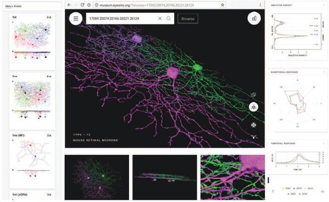 망막의 신경절세포 유형을 볼 수 있는 온라인 가상전시관의 화면. 출처:  museum.eyewire.org