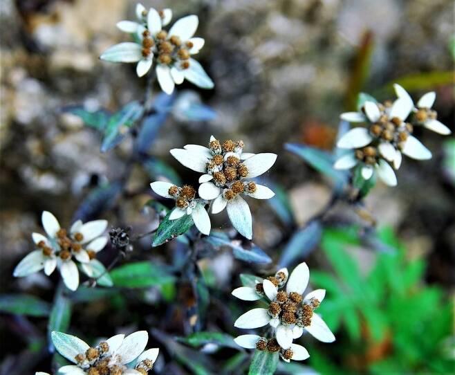 동부전선의 왜솜다리 군락이다. 왜솜다리는 희귀식물로 적근산, 백암산, 백석산, 건봉산 등에 서식한다. 디엠제트에는 모두 2500종가량의 식물이 서식하고 있다.