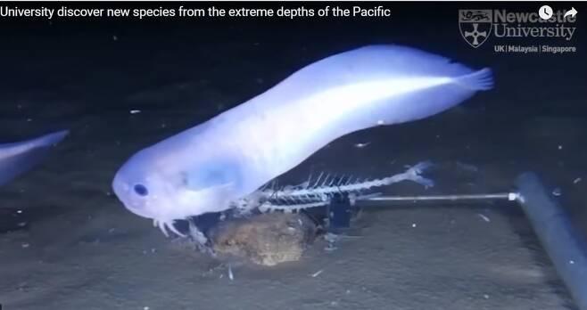 남아메리카 아타카마 해구 수심 7500m에서 촬영된 꼼치의 일종. 뉴캐슬대 보도자료 영상 갈무리.