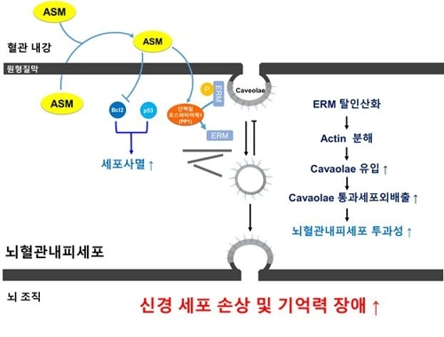 노화 치매환경에서 ASM 증가로 인한 뇌혈관장벽 손상 기전 모식도 [한국연구재단 제공=연합뉴스]