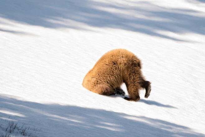 거기 누구 있어요? 미국 와이오밍주 옐로스톤 국립공원에서 갈색 털의 아메리칸흑곰이 눈밭의 구멍에 머리를 박고 있다. 미국의 Patty Bauchman이 찍었다.