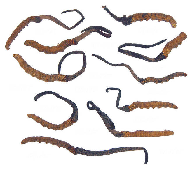기생균의 3분의 1이 수십년 안에 멸종할 것으로 우려된다. 동충하초의 멸종은 이에 더해 수십만 채집 주민의 삶에 치명타를 가할 것이다. 다양한 중국동충하초의 모습. 위키미디어 코먼스 제공.