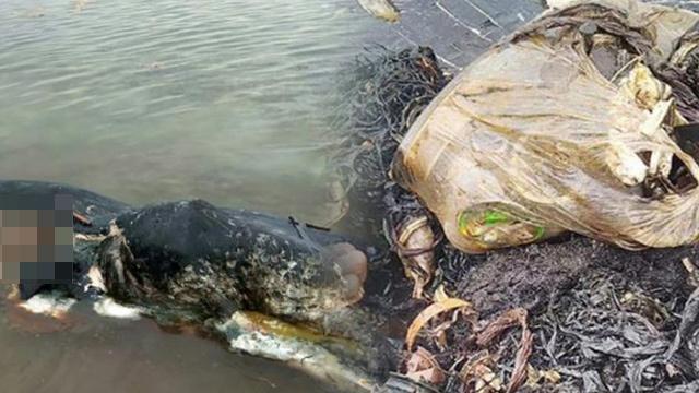 인도네시아 향유고래와 뱃속에서 나온 플라스틱