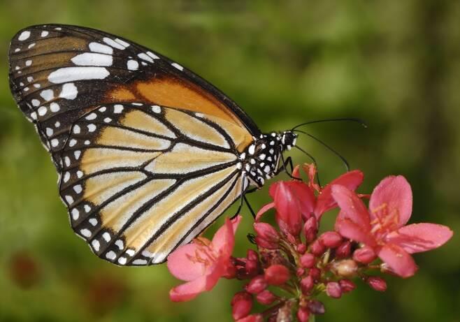 제왕나비는 날개를 펼친 길이가 9~10㎝ 정도로 어른 손바닥만한 큼지막한 나비인데, 이들의 비행 속도는 약 시속 9㎞다. 이 속도로 4500㎞를 이동하려면 무려 500시간, 20.8일을 꼬박 쉬지 않고 날아야 한다. 게티이미지뱅크