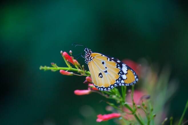 제왕나비가 줄어드는 원인을 하나로 콕 집어내기는 어렵다. 월동지로 이용되는 숲이 각종 개발로 조금씩 훼손되는 것이 커다란 영향을 줄 수도 있다. 캘리포니아의 경우 기후 변화 때문에 극심한 가뭄과 산불 등이 빈번하게 일어나고 있으며, 갑작스런 폭풍우 같은 이상 기상 현상은 나비들의 생존에 치명적이다. 게티이미지뱅크