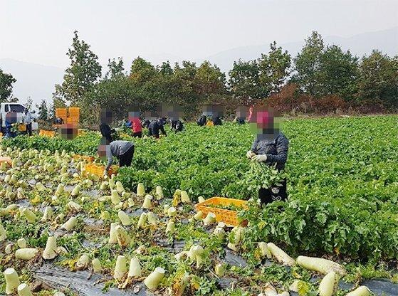 불법체류자들이 지난해 10월 강원도 한 농장에서 일하는 모습. [프리랜서 장정필]