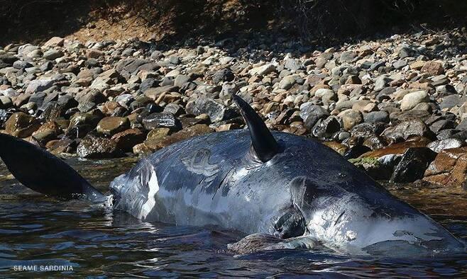 지난달 2일 이탈리아 사르데냐섬 해안에서 발견된 향유고래 뱃속에서는 새끼 고래와 함께 22㎏의 플라스틱이 발견됐다.