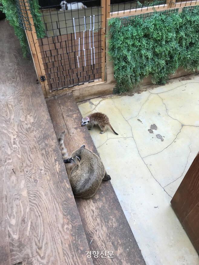 지난 10일 서울 마포구 한 동물카페 내에서 서로 다른 종인 미어캣과 코아티가 같은 공간에 있는 모습. 이날 미어캣과 코아티는 공격성을 드러내며 으르렁대는 모습을 보이기도 했다. 김기범기자