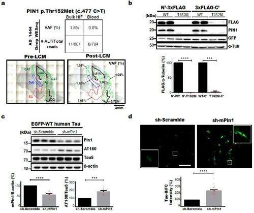 유전자(PIN1) 병원성 뇌 체성 유전변이와 신경섬유다발 형성과의 관계 [KAIST 제공. 재판매 및 DB 금지]
