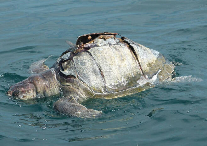 보트 프로펠러에 걸려 숨진 채 바다 위를 떠다니는 올리브각시바다거북.
