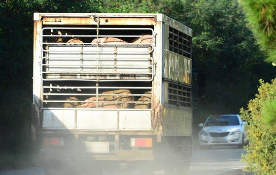 양돈농장에서 돼지를 실은 차량이 한 도축장으로 이동하고 있다. [뉴시스]