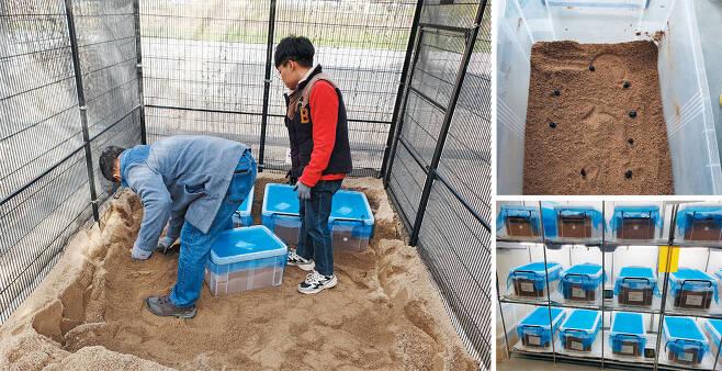 지난 29일 경북 영양에 있는 국립생태원 멸종위기종복원센터에서 직원들이 소똥구리가 든 통을 땅에 묻고 있다(왼쪽 사진). 겨울잠을 잘 수 있게 돕는 것이다. 통마다 소똥구리 8~9마리가 들어 있다(오른쪽 위). 소똥구리는 평소에는 곤충 증식실에서 생활한다(오른쪽 아래). / 남정미 기자