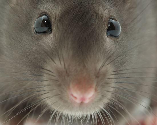 쥐 자료 사진. 뉴시스