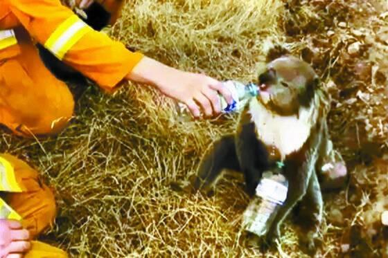 지난달 22일 사우스오스트레일리아주 애들레이드 인근 커들리 크릭에서 소방관들이 젖병에 담긴 물을 코알라에게 먹이고 있다. [AP=연합뉴스]