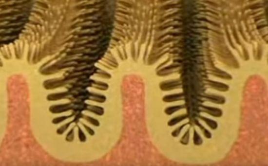 소장 내부의 융모. 이 융모가 소화된 음식물의 영양소를 흡수합니다. [사진=유튜브 화면캡처]