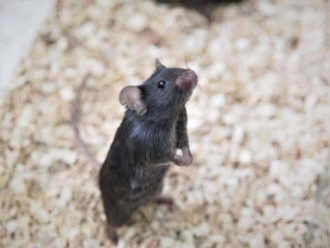14일 서울 관악구 서울대 내에 위치한 국가마우스표현형분석사업단에서 유전자 변형 쥐가 케이지에서 고개를 들고 주변을 살피고 있다. 예민한 동물인 쥐는 환경이 조금만 달라져도 금세 반응한다. 윤신영 기자