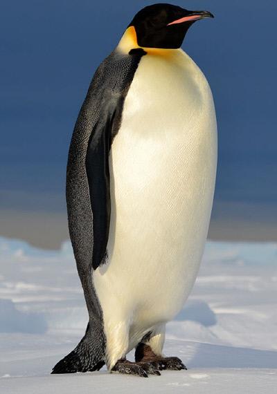 남극의 황제펭귄. 응용물리학저널 제공
