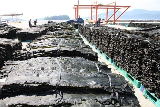 전남 완도군에서 생산된 다시마가 선적을 위해 항구로 옮겨지고 있다. [뉴시스]
