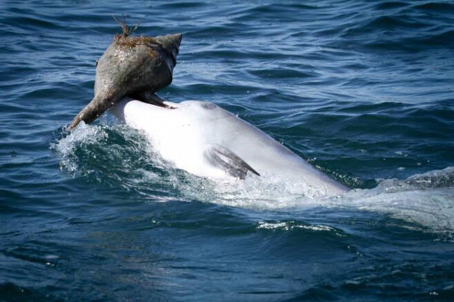 호주 서부 샤크만에 서식하는 남방큰돌고래가 쉘링 기술을 이용해 물고기를 사냥하는 모습. 소냐 와일드, 돌핀이노베이션프로젝트 제공.