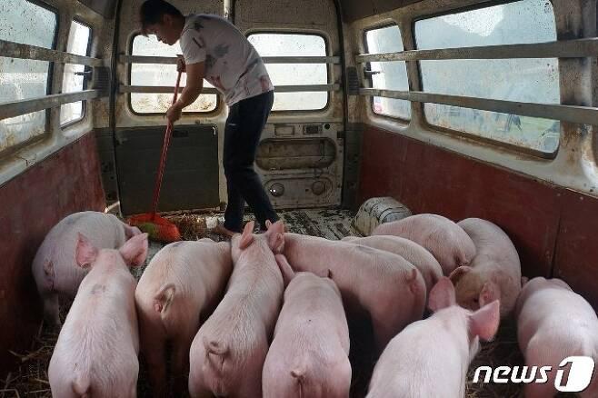 중국 광시성 바이스의 한 돼지 농장에서 근무자가 사육시설을 청소하고 있다. (로이터) /사진=뉴스1