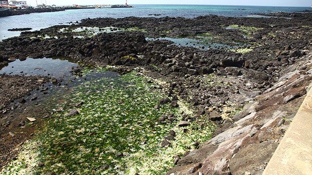 녹색연합이 지난달 20~22일 조사한 제주 연안 구멍갈파래 조사 현장. 제주시 한림해안로 연안을 구멍갈파래가 뒤덮고 있다.