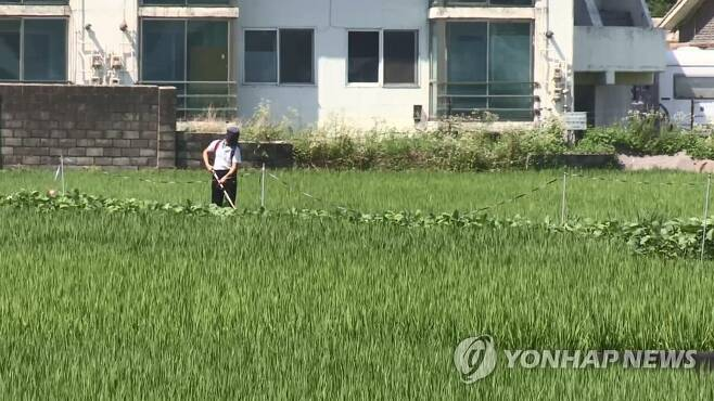 벼농사 [연합뉴스TV 제공]