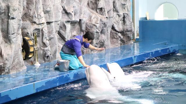 한화 아쿠아플라넷에서 쇼를 하고 있는 벨루가. 동물자유연대 제공