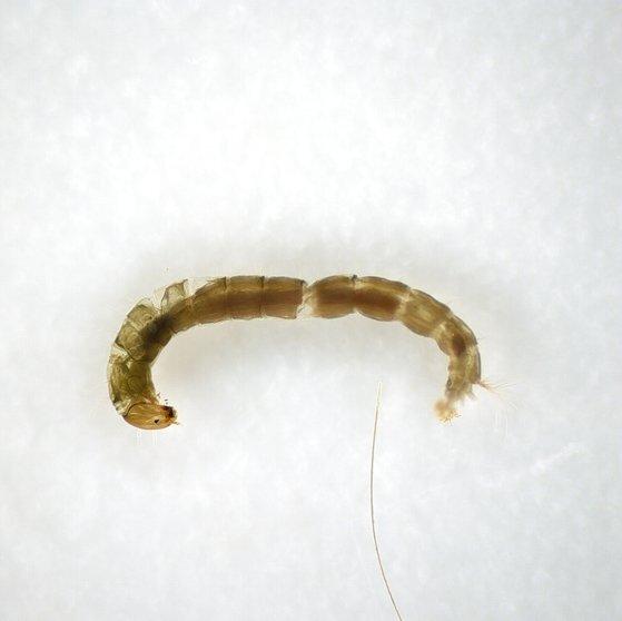 현미경으로 본 등깔따구 유충의 모습. 국립생물자원관