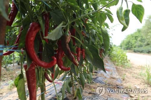 고추밭 [연합뉴스 자료사진]