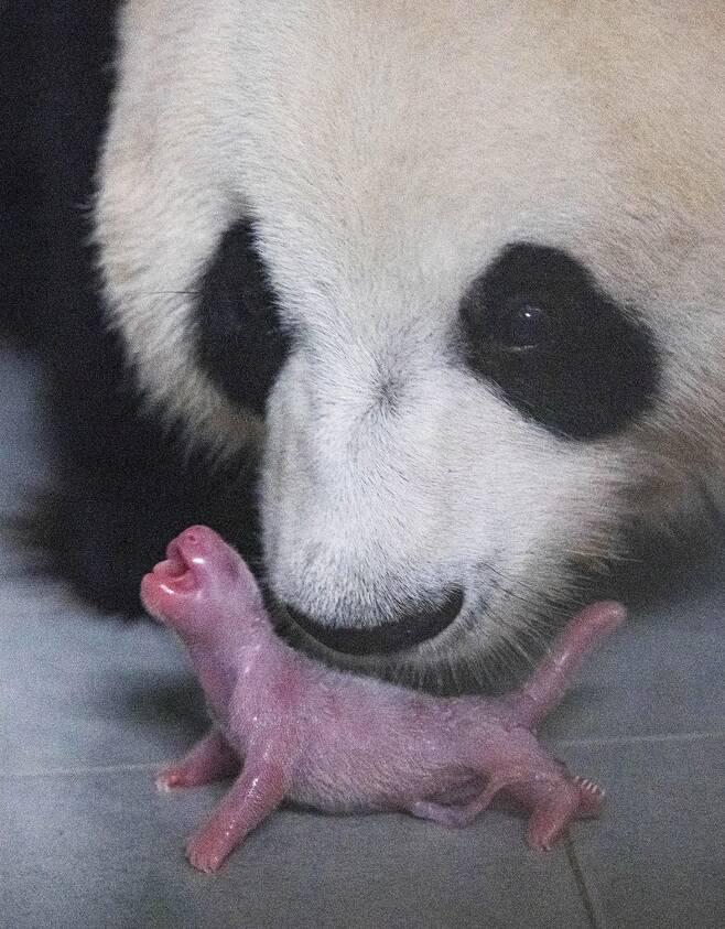 태어난 직후의 아기 판다와 엄마 아이바오 모습 [에버랜드 제공. 재판매 및 DB 금지]