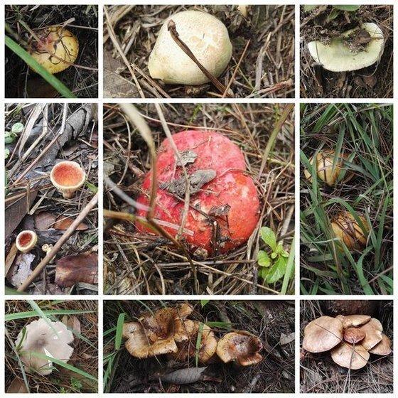 중국 윈난성에서는 다양한 버섯이 자란다. 매년 윈난성에서는 신종 버섯 12종이 새롭게 발견되고 있다. [트위터]