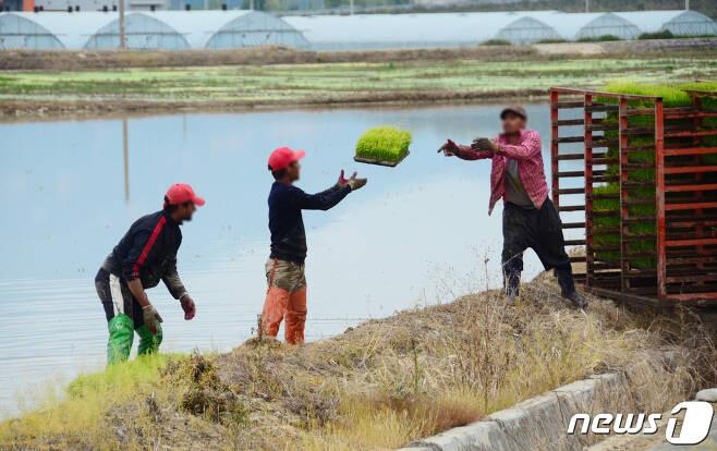 모내기 준비를 하고 있는 외국인 근로자들  © News1 이찬우 기자