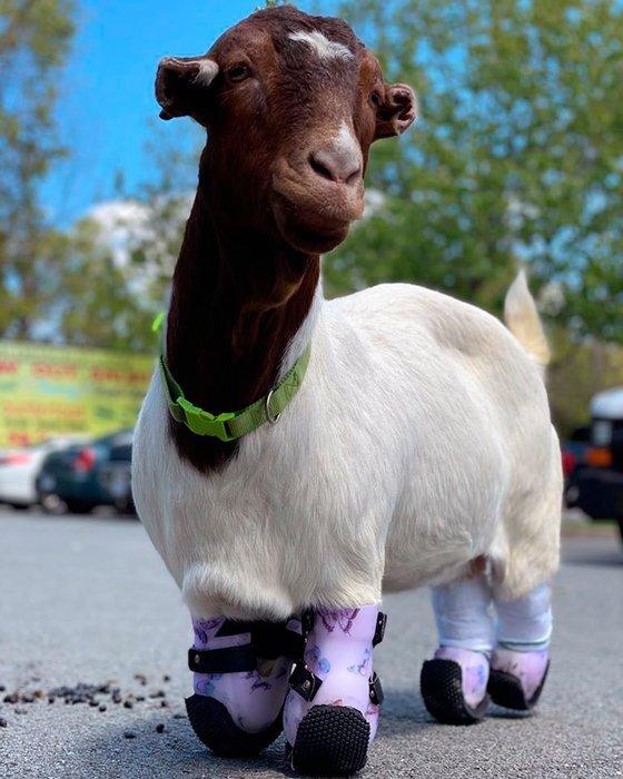 미국 펜실베니아주 해리스버그 농장에 사는 염소 안나. 동상으로 네 다리를 잃었지만 9·11 테러로 동료를 잃은 전직 소방관 가족에게 입양된 후 의족을 얻어 걸을 수 있게 됐다. [트위터 캡처]