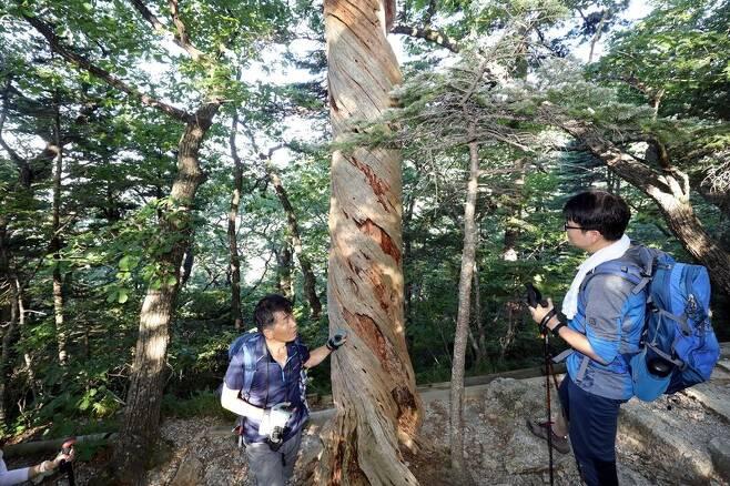 20일 설악산 대청봉으로 향하는 탐방로에서 마주친, 꼰 형태로 말라 죽은 잣나무. 박종식 기자 anaki@hani.co.kr