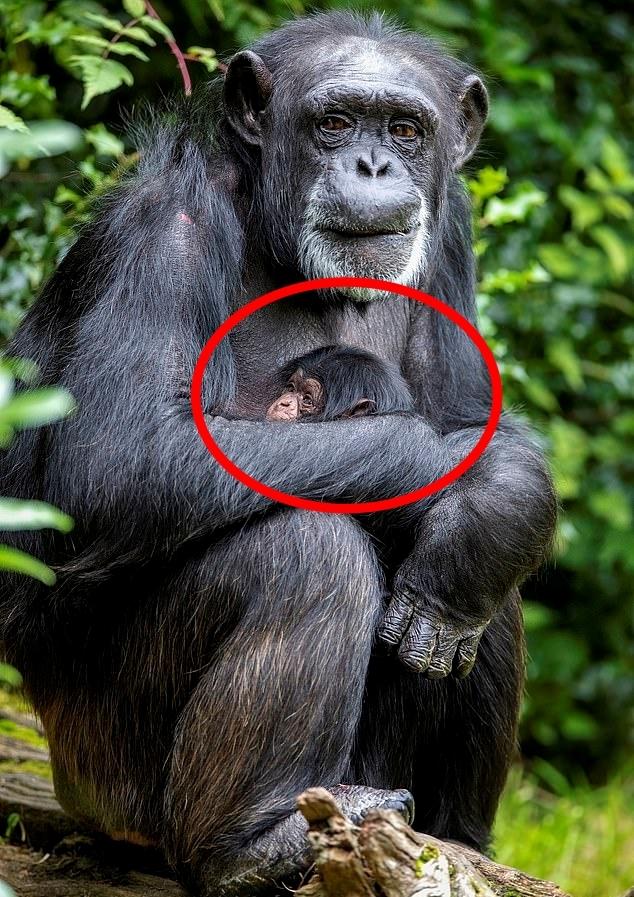 멸종위기 서부 아프리카 침팬지 어미가 지난달 21일 출산한 새끼를 품에 안고 있다(사진=체스터동물원)