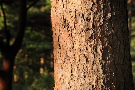 삼척 준경묘 금강소나무
