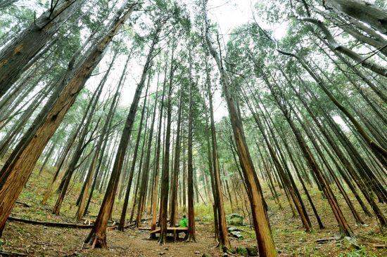 순천 굴목이재 편백나무숲